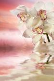 čerstvé orchideje ve vodě — Stock fotografie