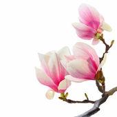 Magnolia baum — Stockfoto