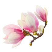 Blüten der magnolie auf weiß — Stockfoto