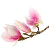 Blüten der magnolie — Stockfoto