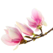 Buds of magnolia — Stock Photo
