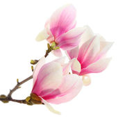 Magnolia tree on white — Stock Photo