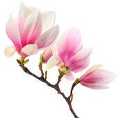Magnolie strom na bílém pozadí — Stock fotografie