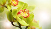 Few flowers of orchid in sun — Stock Photo