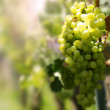 Fresh grapes in sun light — Stock fotografie