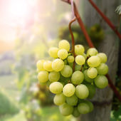 Landscape with grapes — Stock Photo