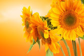 Sunflowers and orange color — Stock Photo