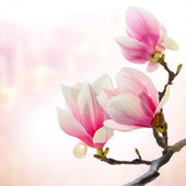 Magnolia decoration — 图库照片