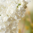 Stock Photo: Elderflower in garden