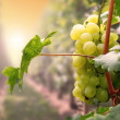 Stock Photo: Grapes in sun light