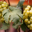 Grapes in sun light — Stock Photo
