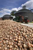 Onions for power — Stock Photo