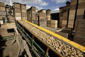 Patato on a conveyor beld — Stock Photo