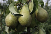 Bunch of pear — Stock Photo