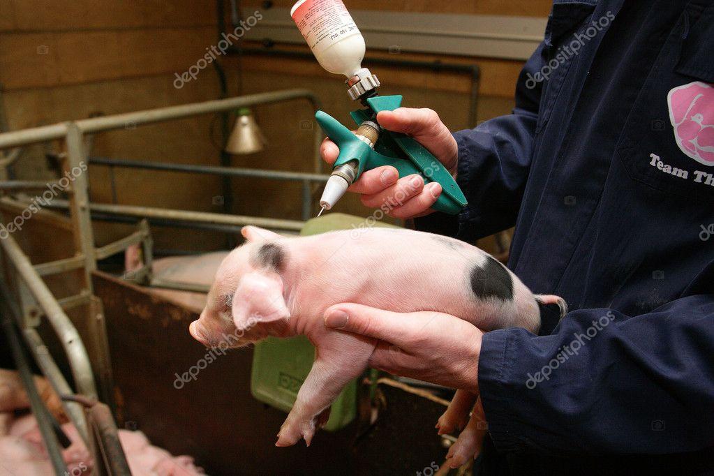 Как сделать укол свинье за ухо фото - Mosstroyservice