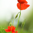 Poppies — Stock Photo #10676496