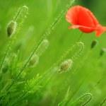 Beautiful Poppies — Stock Photo