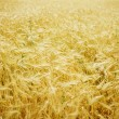 Wheat Background - Stockfoto