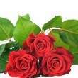 Beautiful Red Roses Over White - Foto de Stock  