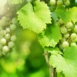 Bunch Of Green Grapes On Grapevine In Vineyard - Stock Photo