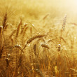Golden Wheat Field — Stock Photo #10679454