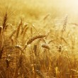 Golden Wheat Field — Stock fotografie #10679454