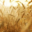 Stock Photo: Golden Wheat Field
