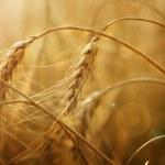 espigas de trigo dourado — Foto Stock