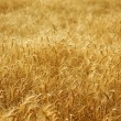 Golden Wheat Field — Foto de stock #10679472