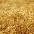 Golden Wheat Field — Stock Photo #10679472