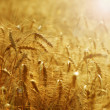 Golden Wheat Field — 图库照片