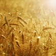 Golden Wheat Field — Stock Photo #10679478