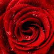 Beautiful Red Rose — Stock Photo #10679500