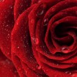 Stock Photo: Beautiful Red Rose