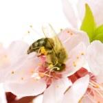 Honey Bee On A Flower. Studio Isolated — Stock Photo