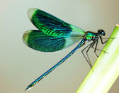 Beautiful Bright Dragonfly — Stock Photo