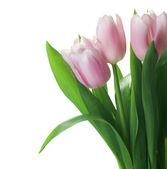 Beautiful Tulips Border Isolated On White — Zdjęcie stockowe
