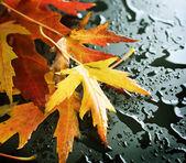 Wet Autumn leaves over black — Stock Photo