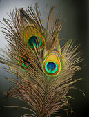 Peacock Feathers over black — Stock Photo