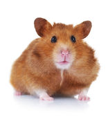 Funny Hamster over white — Stock Photo