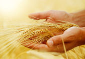 Wheat Ears In The Hands. Harvest Concept — Photo