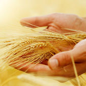 Wheat. Harvest Concept — 图库照片