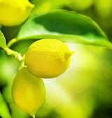 柠檬 — 图库照片