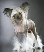 Lapdog. Chinese Crested Purebred Dog — Stock Photo