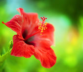 Hibiscus Flower. Shallow DOF — Stock Photo