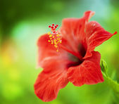 Hibiscus Flower. Shallow focus — Stock Photo