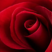 Beautiful Red Rose close-up — Stock Photo