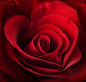 Valentine Red Rose. Heart shaped — Stock Photo