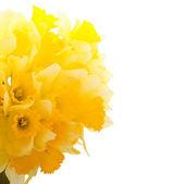 Frontera narcisos hermosa — Foto de Stock