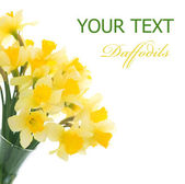 Daffodils Border — Stock Photo